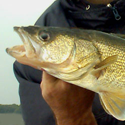 Fish species the walleye sauger for Lake erie fish species