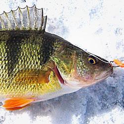 Fishing Lake St Clair - Walleye, Jumbo Perch, Smallmouth